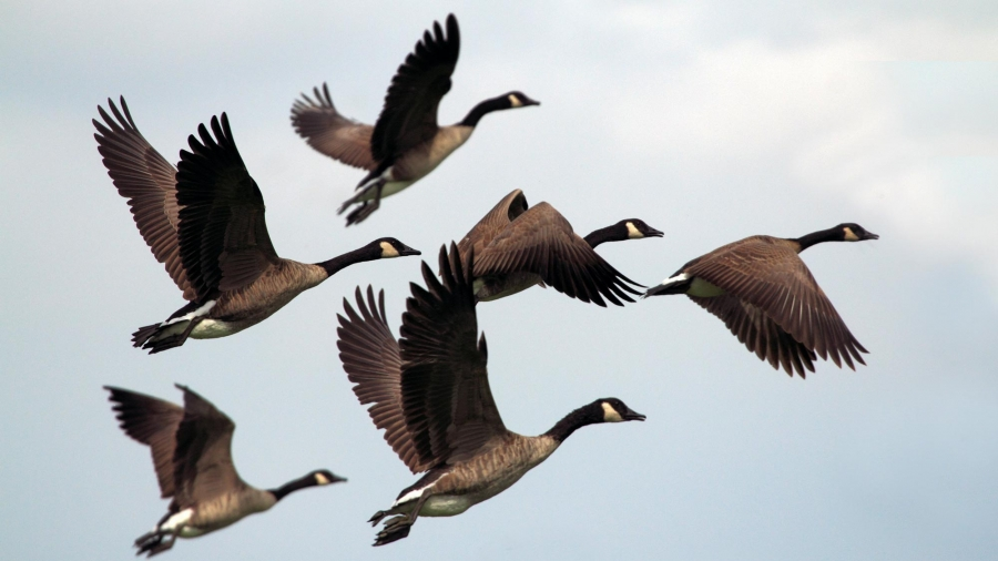 Canada Geese flying in a formation, Photo by Gary Bendig on Unsplash