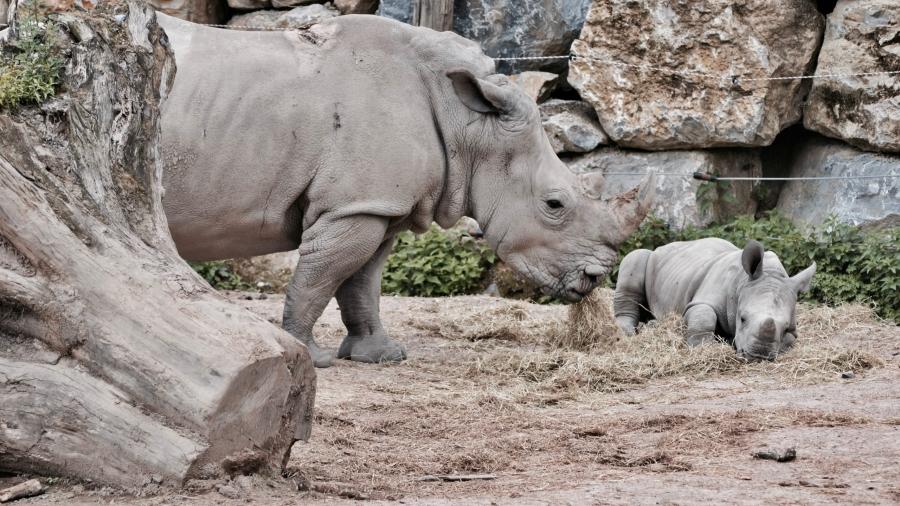 Momma and baby rhino. Photo by sarah stockman on Unsplash